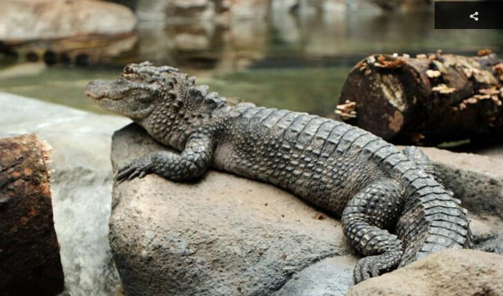 长江主题区内的扬子鳄