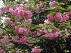 莲城樱花(摄影组图)