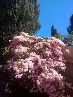 墨尔本庭院花卉(摄影组图一)